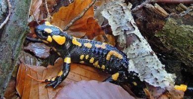 salamandra común - salamandra salamandra