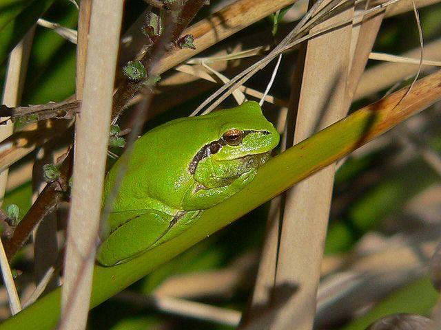 ranita meridional (rana meridionalis) en la vegetación