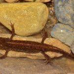 tritón ibérico - lissotriton boscai