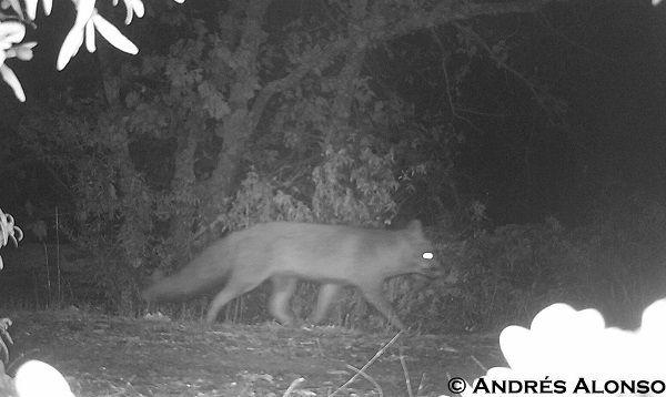 Foto de zorro con cámara de fototrampeo de luz visible