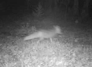zorro corriendo con cámara de fototrampeo de luz negra