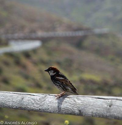 Gorrión moruno en Fuerteventura