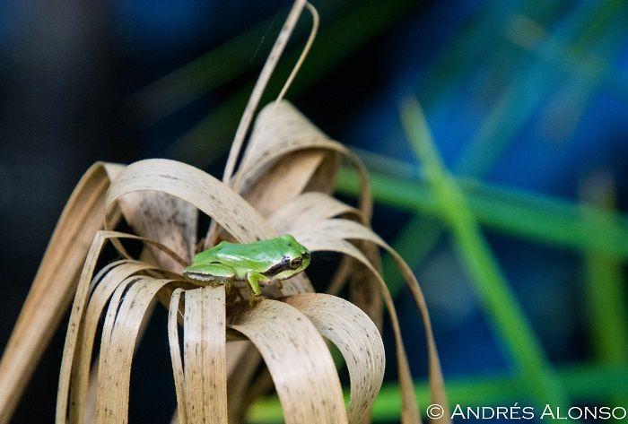 Metamorfico Ranita de san antonio en hojas secas