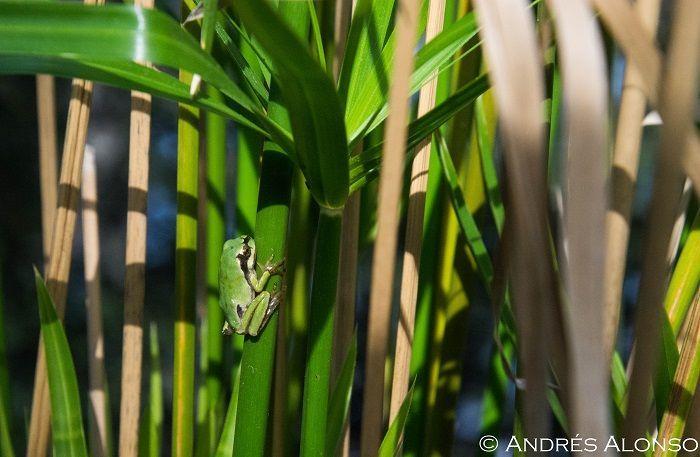 Metamórfica de rana de san antonio en la vegetación