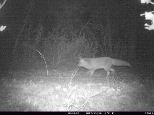 fototrampeo de zorro en una pista