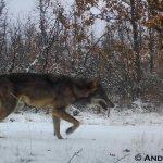 lobo iberico en segovia