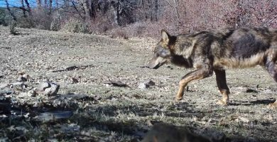 lobo iberico en guadalajara