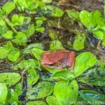 metamórfico de rana patilarga