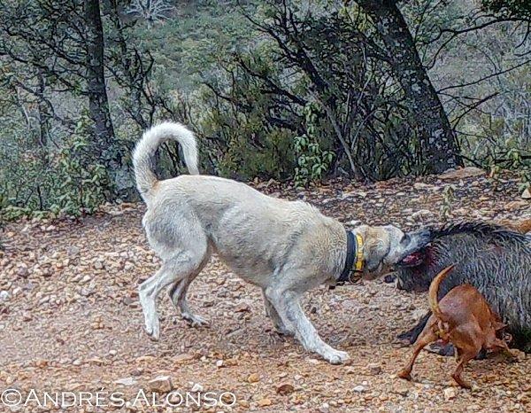 Perros mordiendo a un jabalí