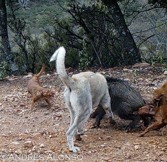 Perros dando caza a un jabalí